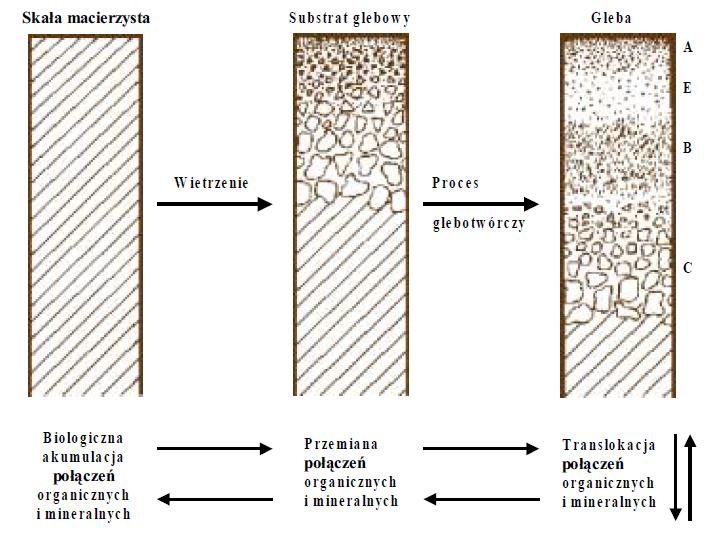 Rys. 1. Proces tworzenia się gleby (wgHanes, 1997)